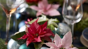 csm_2019_poinsettia_02000_christmas_wonderland_41_7377513975-2